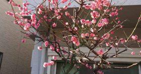2月20日東京に出ましたら梅が満開でした