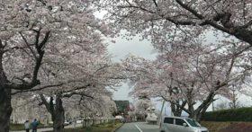 山形の護国神社の桜も満開です