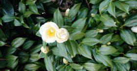 菩提時の澄江寺の椿はまだ咲いています