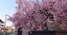 今山形県寒河江市は桜が満開です