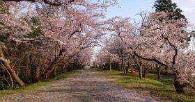 子供のころに見た長岡山の桜を思い出し見に行きました