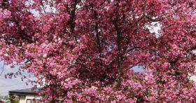 桜が終わっても寒河江は花盛りです