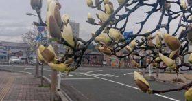 四月二日寒河江駅前のモクレンが咲きそうです