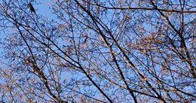 寒河江八幡宮の鶯