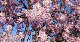 桜を今年は堪能することが出来ました