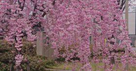桜の見ごろはまだ続いています
