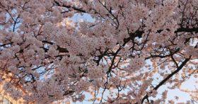 寒河江の小松医院前の桜が満開です