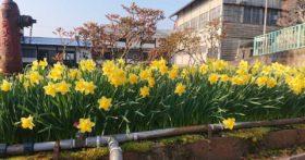 散歩の途中見つけましたがチュウリップが咲いていました