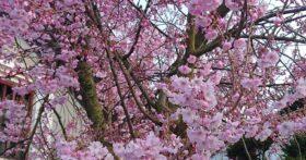 近所の加藤さんの桜も綺麗です