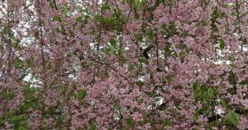 寒河江八幡宮の桜はまだ終わっていません