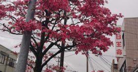 寒河江市内の街路樹のハナミズキがきれいです
