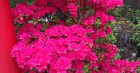 山形は桜も終わり、つつじの季節となりました