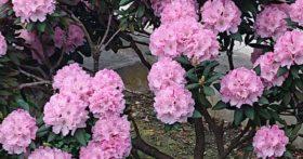 美しいい石楠花を見かけました。