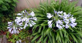 朝の散歩時、菩提寺の庭で見かけた花です。