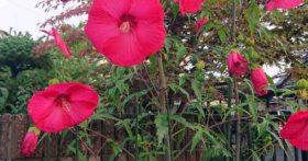 毎朝散歩の時見る花ですが、夏空に迫力です