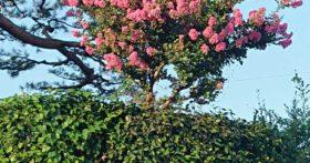 菩提寺の百日紅が咲きだしました