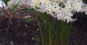 彼岸花の季節です