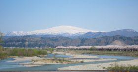 当地区の寒河江川堤の桜が満開です