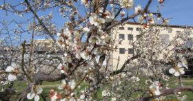 当社の梅園・白加賀梅の花が咲きました!!