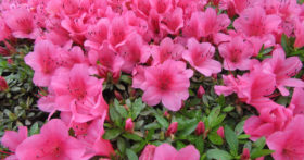 古澤酒造資料館の庭のさつきの花が満開です。