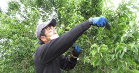 古澤酒造梅畑で従業員一同白加賀梅の収穫を行いました