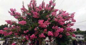 我が家の菩提寺の百日紅が咲きだした